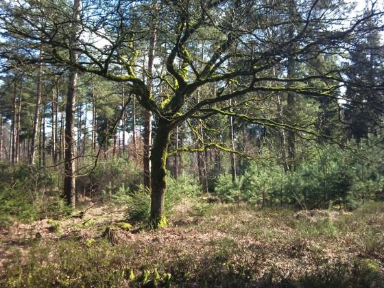 Boom in de bossen van Austerlitz (06-03-2011)