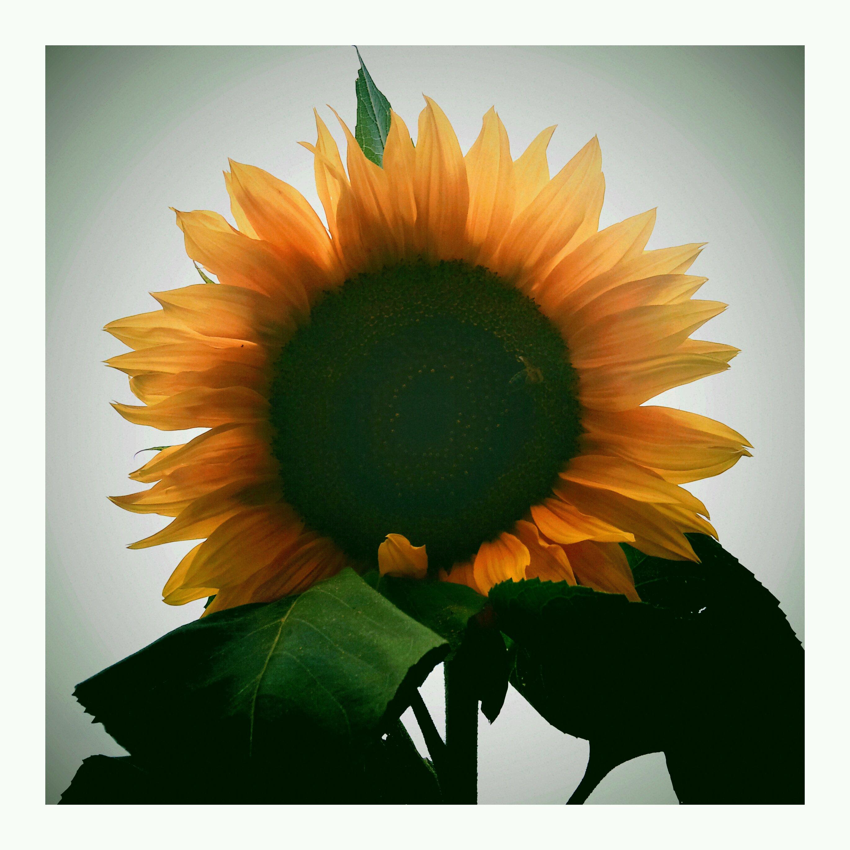 Zonnebloem in de achtertuin